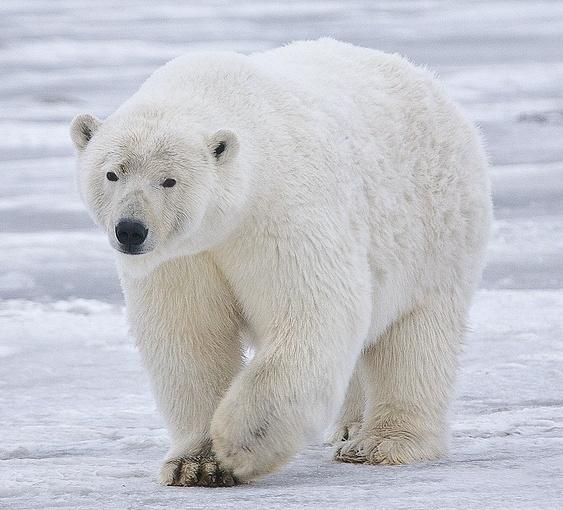No ice, no polarbears