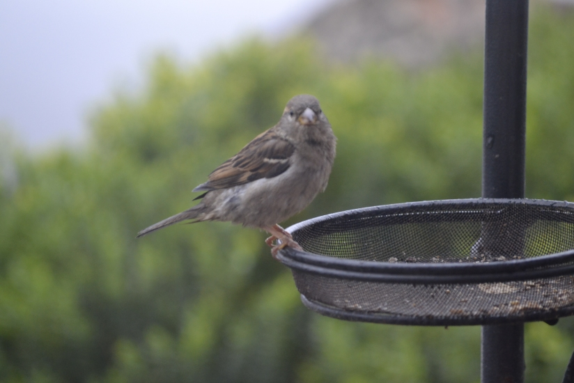 Focus on sparrows