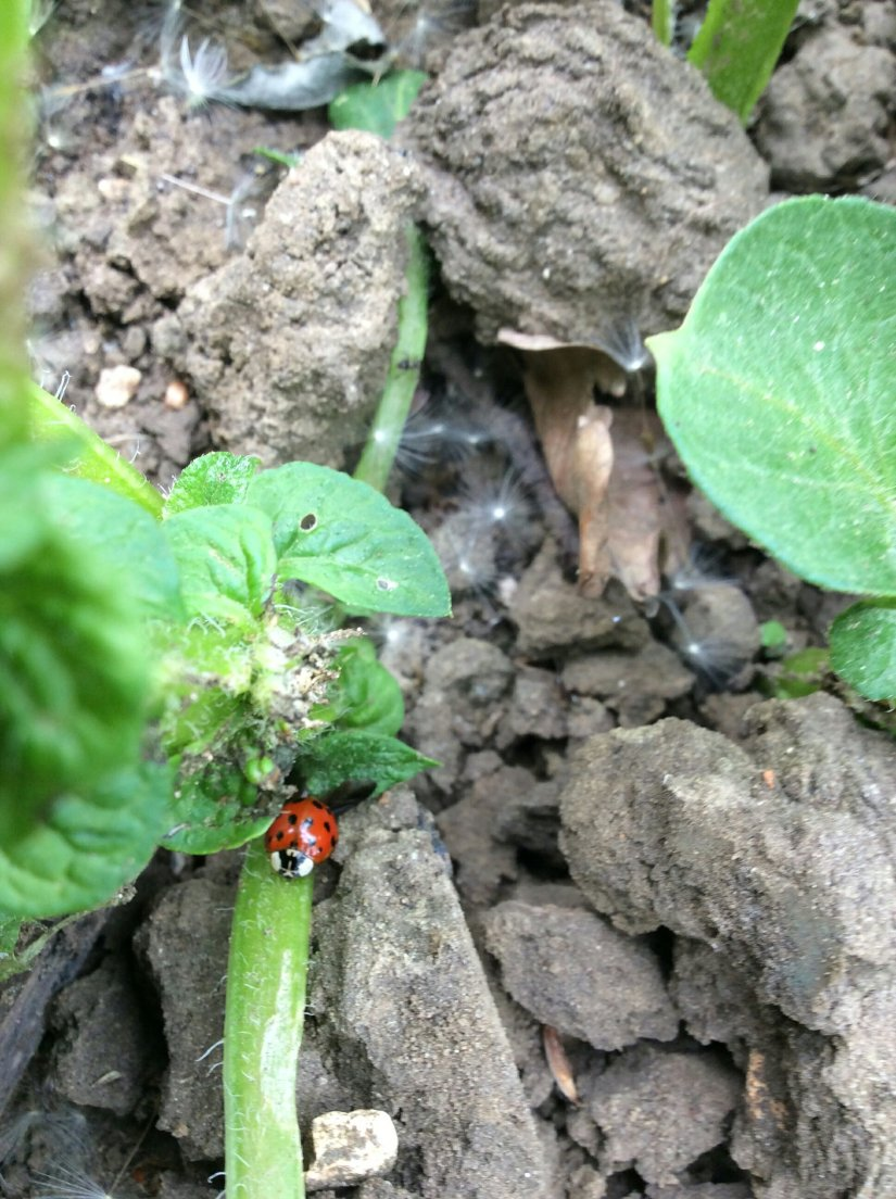 Ladybirds and caterpillars