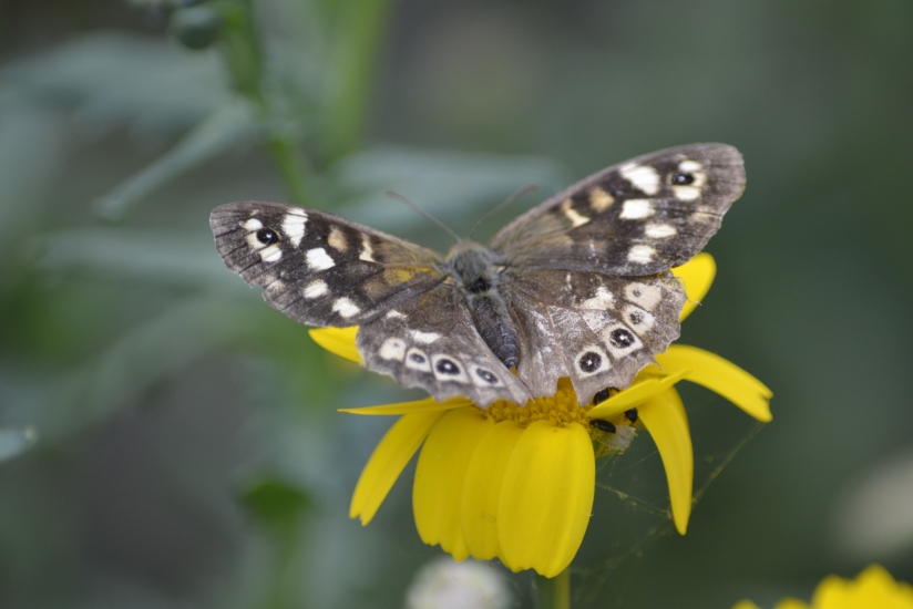 Focus on speckled wood