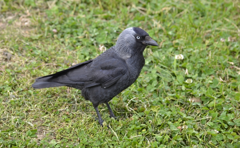 Focus on jackdaws