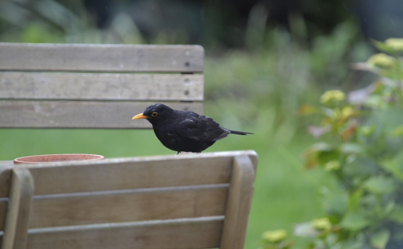 Focus on blackbirds