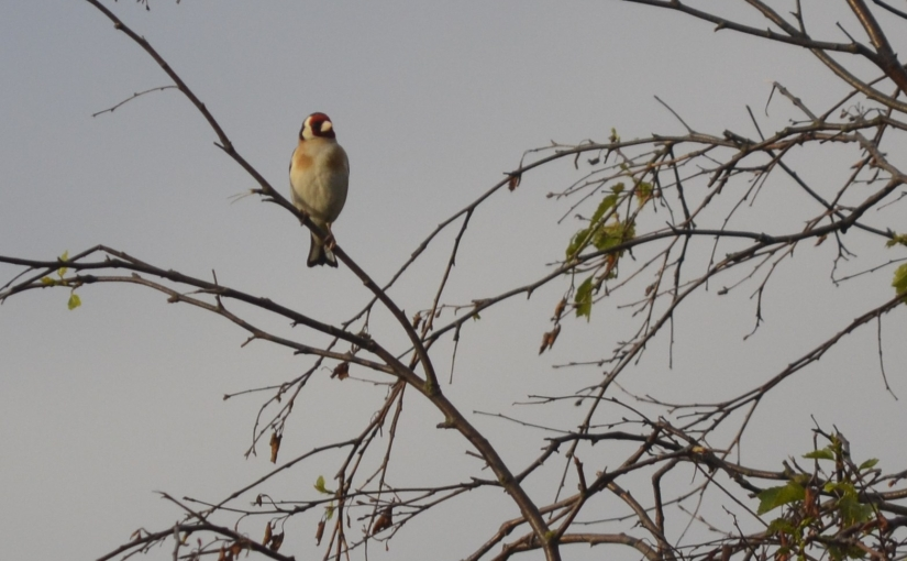 Focus on goldfinches