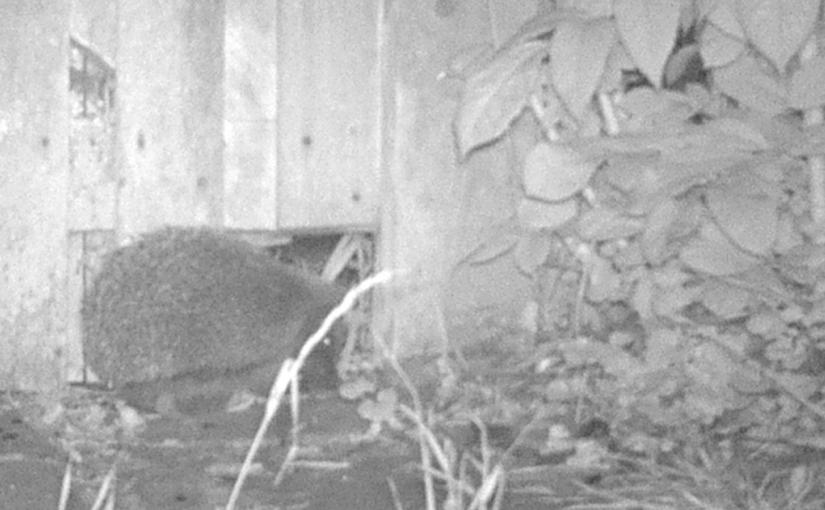 30 Days Of Wild: Idea 8-HedgehogHole