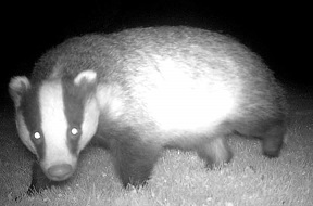 Badger small