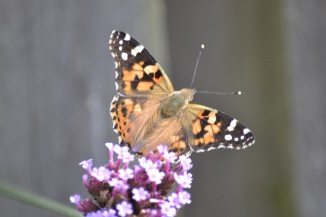 painted lady small