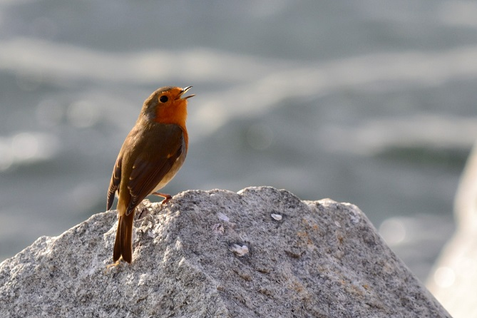 Folklore Thursday-robins