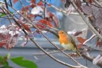 robin garden small