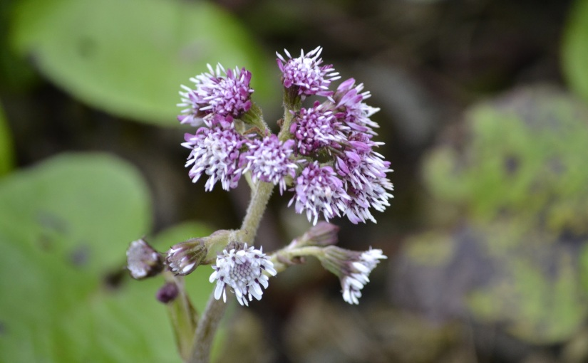 Wildflower hour-Winter heliotrope