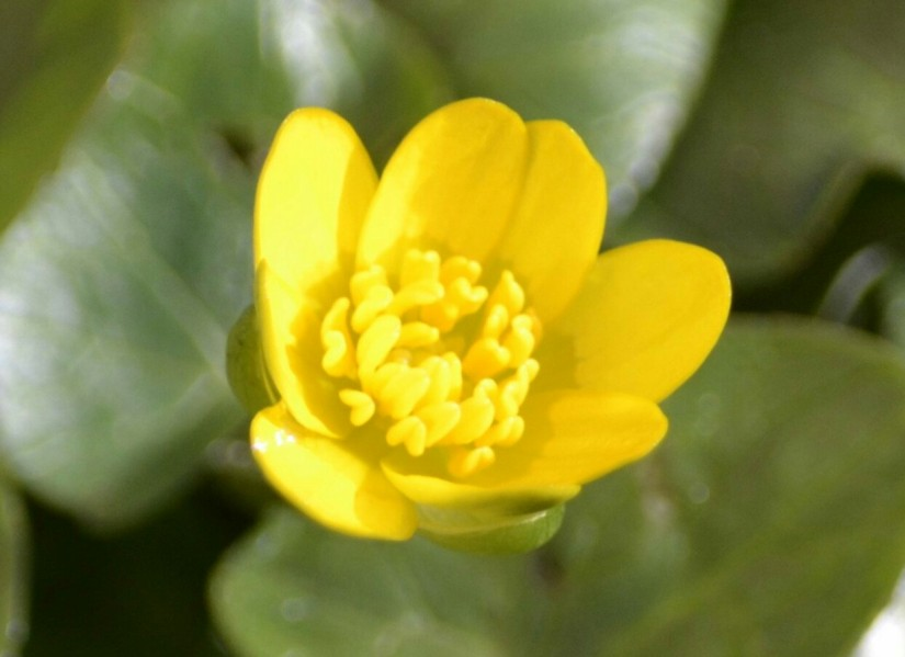 Wildflower Hour-Lesser Celandine