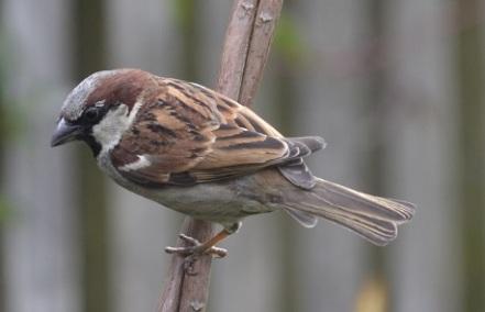 sparrow cane