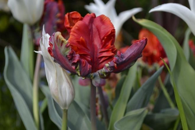 rococo tulips
