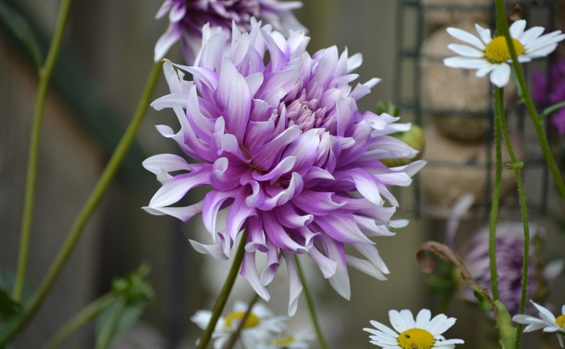 Six on Saturday: Dahlia love arrives