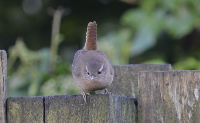 Folklore Thursday-Wren king of the birds