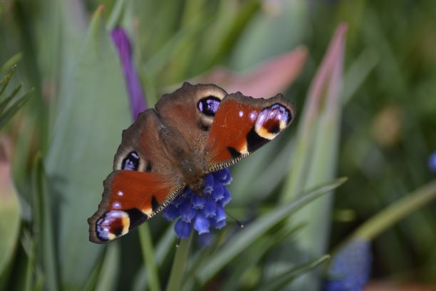 Armchair Naturalist-Peacock butterfly