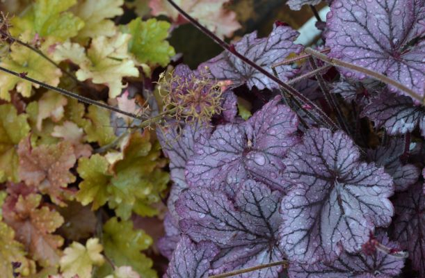 Propagating heuchera